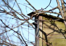 Starling looking out of wooden birdhouse stock photography