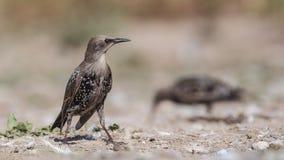 Starling Looking Right arkivbild