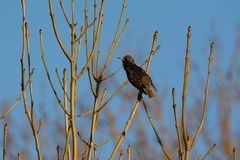 Starling on the lookout from bare branch Stock Photo