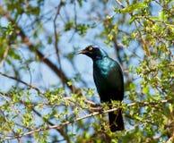 Starling lucido Fotografia Stock Libera da Diritti