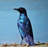 Starling lustré - bleu et pourpre Image libre de droits