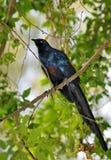 Starling lustré Long-tailed sur un branchement Image libre de droits