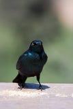 Starling lustroso Fotos de Stock