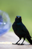 Starling lustroso Imagens de Stock Royalty Free
