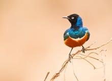 Starling magnífico Fotos de Stock Royalty Free