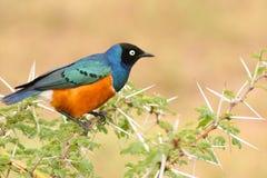 Starling magnífico colorido, Samburu, Kenia Foto de archivo libre de regalías