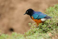 Starling magnífico colorido, Samburu, Kenia Imagen de archivo