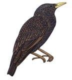 Starling manchou Imagens de Stock Royalty Free