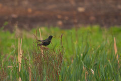 Starling on the meadow Royalty Free Stock Photos