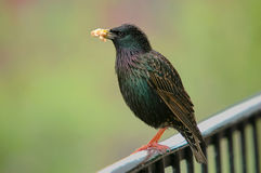 Starling mit Nahrung Lizenzfreie Stockbilder