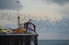 Starling Murmuration Brighton-Vögel 1000s stockfotografie