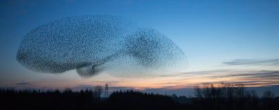 Starling Murmuration på skymning Arkivfoton