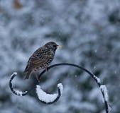 Starling na neve Fotografia de Stock Royalty Free