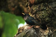 Starling near the cavity nest. Inside old cherry tree Royalty Free Stock Photos