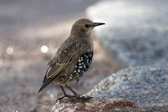 Starling nestling Stock Photography