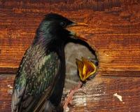 Starling Nestlings Begging stock afbeeldingen