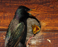Starling Nestlings Begging. European Starling nestlings begging for food from their mother in California Stock Images