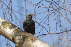 Starling op een berk Stock Fotografie