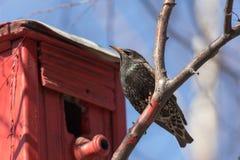 Starling op een berktak stock afbeelding