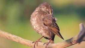 Starling op een tak maakt veren schoon stock footage