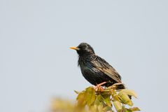 Starling op okkernoot doorbladert stock foto's