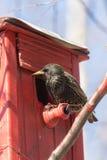 Starling op rood vogelhuis stock afbeelding