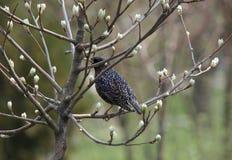Starling op tak van boom Stock Foto