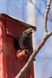 Starling op vogelhuis royalty-vrije stock foto's