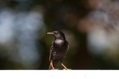 Starling op witte poort Stock Afbeeldingen