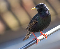 Starling perch Stock Photography