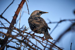 Starling perched in a bush Stock Image
