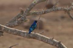 Starling Perched magnífico en rama Fotos de archivo libres de regalías