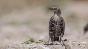 Starling Perching novo na terra imagem de stock royalty free