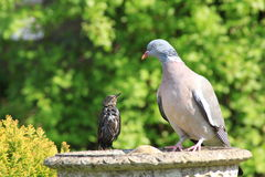Starling and pidgeon Royalty Free Stock Photos