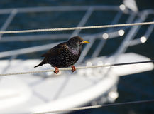 Starling on the pier. Starling sitting next to yacht on a background Stock Image