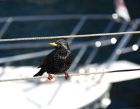 Starling on the pier. Starling sitting on the rope next to boat Stock Photography