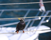 Starling on the pier. Starling sitting on a rope next to the white yachts Stock Image