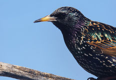 Starling portrait. European starling, Sturnus vulgaris, on branch Stock Photography