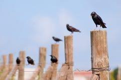 Starling portrait Stock Photo