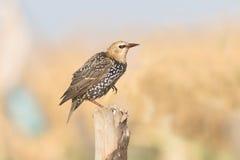 Starling portrait / Sturnus vulgaris Royalty Free Stock Photo