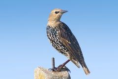 Starling portrait / Sturnus vulgaris Stock Photography