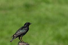 Starling on a post Stock Photography