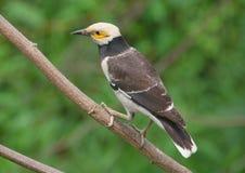 Starling Preto-colocado um colar. Imagem de Stock