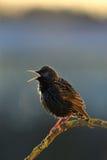 Starling que canta en el resorte Fotos de archivo libres de regalías