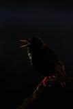 Starling que canta en luz contra Imagen de archivo libre de regalías