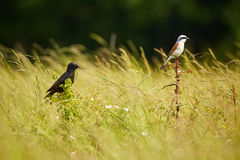 Starling and red backed shrike in the grass Royalty Free Stock Image