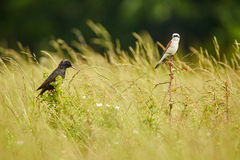Starling and red backed shrike in the grass. A common starling and a red backed shrike in the grass Royalty Free Stock Images