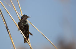 Starling on Reed Royalty Free Stock Photos