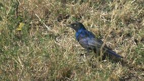 Starling Ruppells на том основании в Masai Mara сток-видео