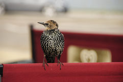 Starling in. SCOTLAND Aberdeen -- 01 Sep 2014 -- A starling waits for an opportunity to dine at a seaside cafe in Aberdeen, Scotland, UK Stock Photos